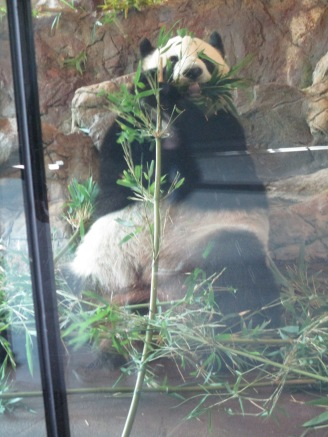 one of the two pandas