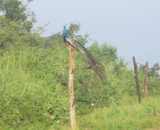 peacock on a post