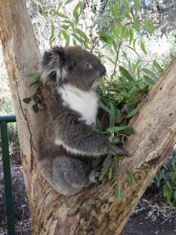 Brownie the koala