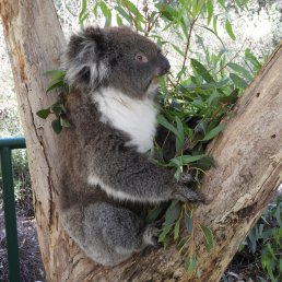 Brownie the koala
