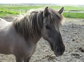 Retired Icelandic horse